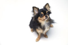 Black and tan cream long coated Chihuahua  over white background. Black and tan cream long coated Chihuahua isolated sitting looking up isolated over white Stock Photography