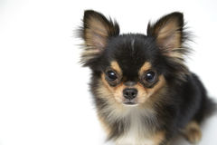 Black and tan cream long coated Chihuahua  over white background. Black and tan cream long coated Chihuahua isolated sitting looking up isolated over white Stock Image