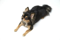 Black and tan cream long coated Chihuahua  over white background Royalty Free Stock Photo