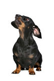 Black and tan dachshund. Dachshund black and tan in front of white background royalty free stock photo