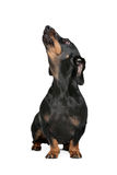 Black and tan dachshund. Dachshund black and tan in front of white background stock photo
