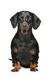 Black and tan dachshund. Dachshund black and tan in front of white background stock image