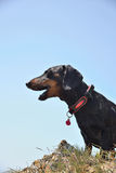 Black and tan dachshund  barking. On sky background Royalty Free Stock Images