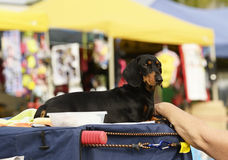 Black tan Dachshund dog enjoying day out. A wonderful fun candid portrait of a pet  black and tan Dachshund dog relaxing with his owner, enjoying his day out and Stock Photos