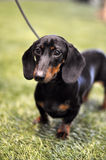 Black and tan dachshund dog on exhibition royalty free stock photography