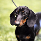 Black and tan dachshund dog on exhibition stock image