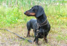 Black and tan dachshund on field. Black and tan dachshund on summer field stock images
