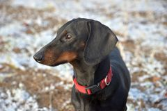 Black and tan dachshund in field with first snow Stock Image