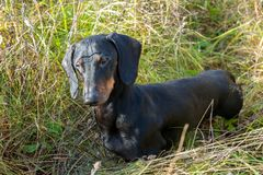 Black and tan dachshund on field. Black and tan dachshund on summer field royalty free stock images