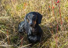 Black and tan dachshund on field. Black and tan dachshund on summer field stock photos
