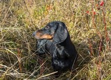 Black and tan dachshund on field. Black and tan dachshund on summer field stock image