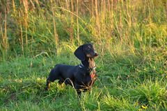 Black and tan dachshund in grass Royalty Free Stock Image