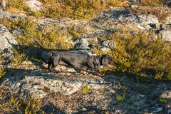 Black and tan dachshund in tundra. Black and tan dachshund on rock in tundra Stock Images
