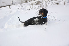 Black and tan dachshund  in snow Stock Photo