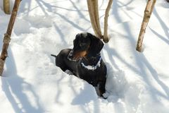 Black and tan dachshund in winter. Black and tan dachshund is in snowy forest Royalty Free Stock Photos