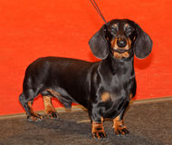 Black and tan dachshund Stock Photo