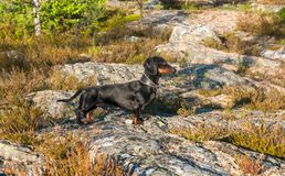 Black and tan dachshund in tundra. Black and tan dachshund on rock in tundra Stock Photography