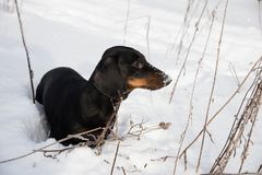 Black and tan dachshund in winter. Field Royalty Free Stock Image