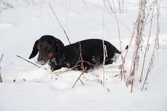 Black and tan dachshund in winter. Field Stock Photos