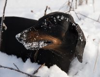 Black and tan dachshund in winter. Field Stock Photography