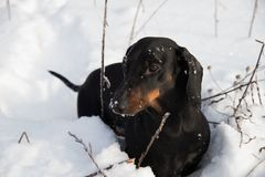 Black and tan dachshund in winter. Field Stock Image