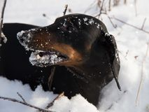 Black and tan dachshund in winter. Field Royalty Free Stock Photography