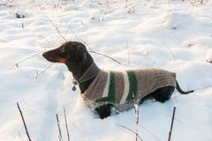 Black and tan dachshund  in woolen suit in winter Stock Photography