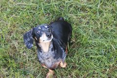 Black and Tan Dapple Dachshund looking up at the sky Stock Photos