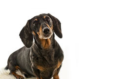 Black and Tan Dapple Dachshund with White Background Royalty Free Stock Photography