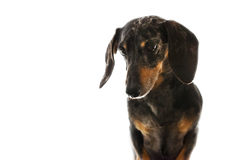 Black and Tan Dapple Dachshund with White Background Stock Photos