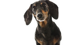 Black and Tan Dapple Dachshund with White Background Stock Image