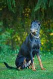 Black and tan Doberman pintcher sitting outside royalty free stock image