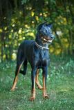 Black and tan Doberman pintcher standing outside stock image