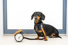 Black and tan dog breed dachshund sit at the door with a leash and alarm clock, cute small muzzle look at his owner and wait for a. Walk. Live with schedule stock photo