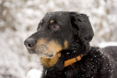 Black and tan dog outdoors in snow. Black and tan dog wearing a collar lying outdoors in snow looking alertly to the left of the frame royalty free stock photo