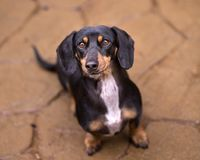 Black and Tan Doxie lookin up at camera with on flagstone with s. Dachshund looking up on flagstones stock photos