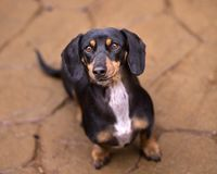 Black and Tan Doxie lookin up at camera with on flagstone with smirk. Young black and tan dachshund with a white patch on his chest sitting on the red stone stock image