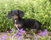 Black and tan Doxie peeks over purple flowers. Small black and tan dachshund walks along a rock wall behind purple flowers blooming in the foreground royalty free stock photography