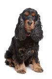 Black and tan English cocker spaniel. In front of a white background stock image