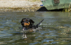 Black and tan German Pinscher swiming Royalty Free Stock Image