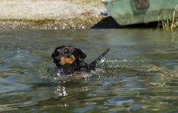 Black and tan German Pinscher swiming Royalty Free Stock Image