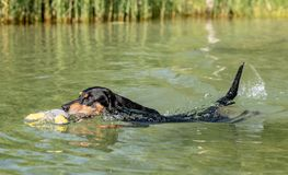 Black and tan German Pinscher swimming. Royalty Free Stock Photography