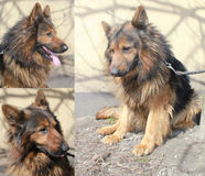 Black and Tan German Shepherd dog Royalty Free Stock Image