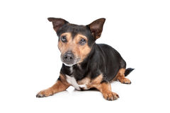 Black and Tan Jack Russel Terrier Stock Photo