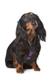 Black and tan miniature dachshund. In front of a white background royalty free stock photography