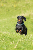 Black and tan smooth-haired miniature dachshund in field. Black and tan miniature dachshund running towards camera in field with mouth open stock images