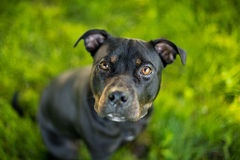 Black and tan pit bull terrier head shot Royalty Free Stock Photo