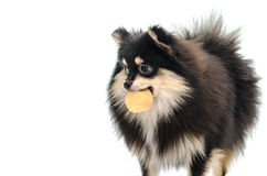 Black tan pomeranian playing on white background Royalty Free Stock Photo