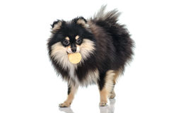 Black tan pomeranian playing on white background Stock Photo