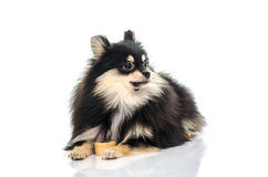 Black tan pomeranian playing on white background Stock Photos